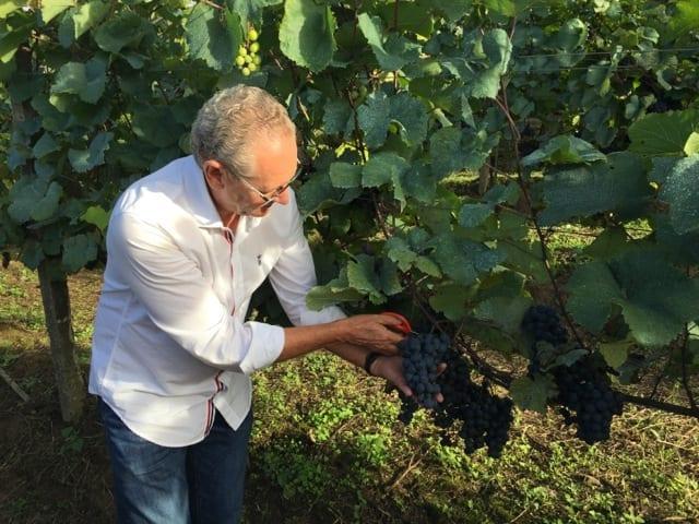 Luiz Sella, dono da Peterlongo botando a mão na massa e ensinando como colher uvas