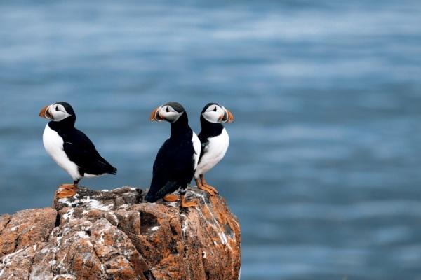 Papagaios do mar, os puffins, vivem em bando na ilha dos pássaros na Noruega. É muito difícil fotografá-los (foto Thinkstock)