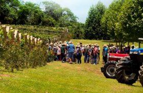 Vinícola comemora 80 anos com festa e pisa da uva em São Roque