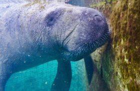 Resort salva animais marinhos nas Bahamas e devolve peixe-boi ao mar! Conheça