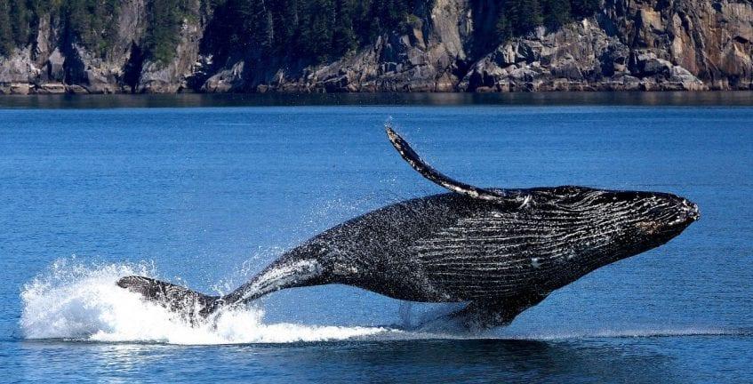 como ver baleias jubarte no brasil